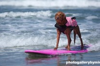 Golden Retriever rides to victory in California dog Surf-a-Thon